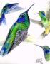 Colibrí-Orejivioleta-Dibujo
